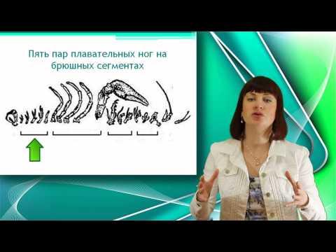 видеоурок членистоногих класс ракообразные