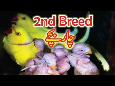 Yellow Ring Neck 2nd Breed 4 Chicks Video Urdu/Hindi