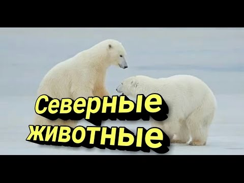 Пингвины и белые медведи