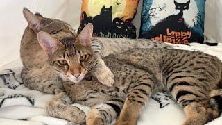 Cutest Big Cats Cuddling In Their Tent! Cuteness Overload! #cute #cat #video