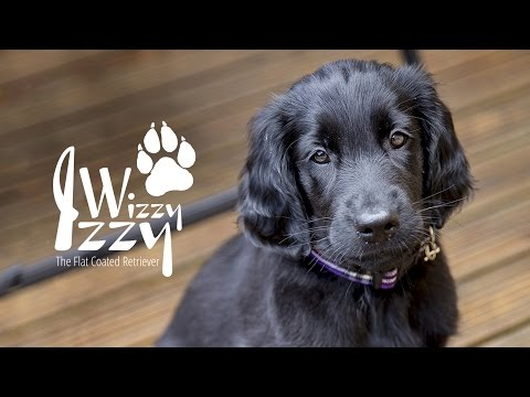 Izzy the flatcoated retriever settles into her new home  (002)