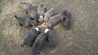 MR.SUCA PUPPIES FOR SALE