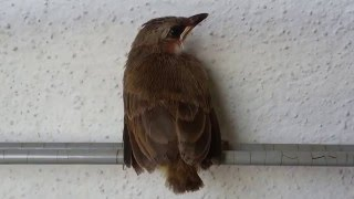Gambar cover Baby bird (Yellow-vented Bulbul) - Bird Sound