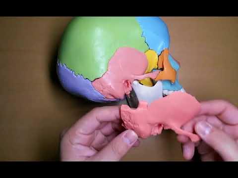 해부생리학 2-1 뇌머리뼈1(모형) by learning mate