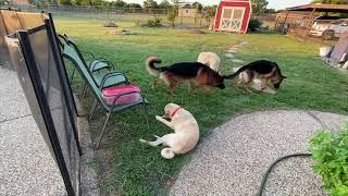 German Shepherd Dogs and Kangal  Akbash Livestock Guardian Dogs Feeding and Bonding together!