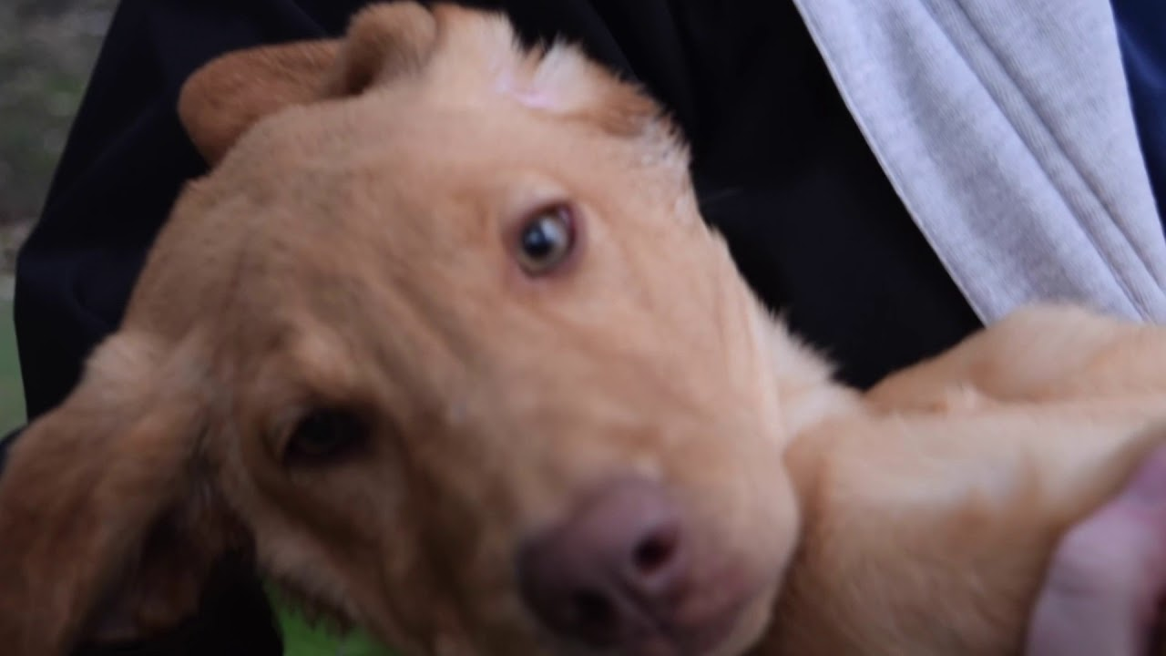 Lab Puppies Available for Adoption at Naperville Animal Hospital!