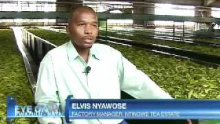 Success of the Ntingwe Tea Estate