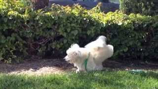 Blind dog kicking up dirt
