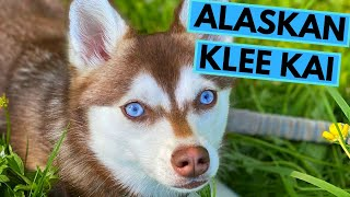 Alaskan Klee Kai  TOP 10 Interesting Facts