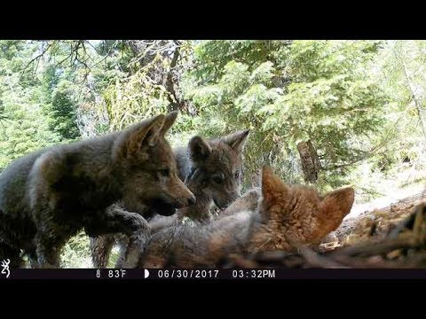 Ask a Wolf Expert:  Kent Laudon on the wolves in Lassen County