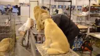 Golden Retriever Show Dog Grooming