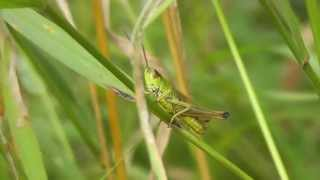 Common field grasshoppers chirping