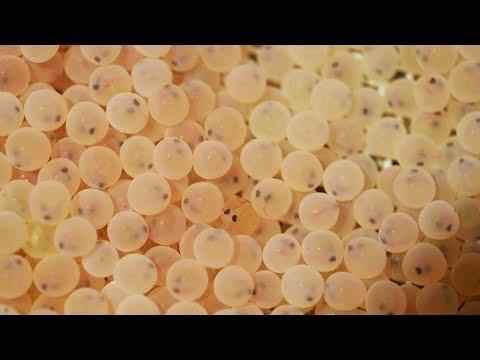 Reproduction assistée des Truites Fario à la Pisciculture Fédérale de Besse