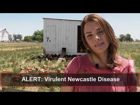 Virulent Newcastle Disease PSA ENGLISH