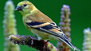 Птицы вокруг нас. Голоса птиц