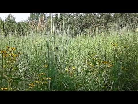 Big Bluestem grass (Andropogon gerardi) and wildflowers in a late summer meadow