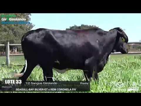 LOTE 33 - REM HABILITADA FIV SILVER - REM0351 - 6348-BD - 5º LEILÃO GIR E GIROLANDO GENÉTICA ADITIVA