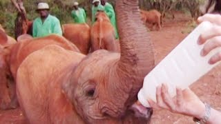 Feeding Baby Orphaned Elephants | Nature's Miracle Babies | BBC Earth