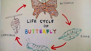 How to draw Butterfly | Life Cycle of a Butterfly | Teen