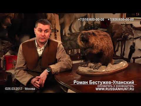 Бобровая струя Польза, Цена, 8-916-800-00-00 Купить