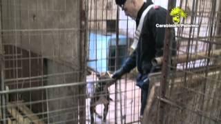 Cani da combattimento a Falsomiele: 5 denunce
