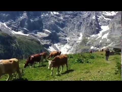 Alpaufzug Stechelberg - Sefine