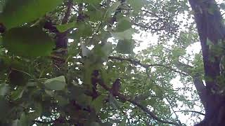 Птенцы дроздов