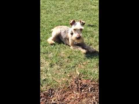 GWEN THE LAKELAND TERRIER - FROM PUPPY MILL TO PRINCESS
