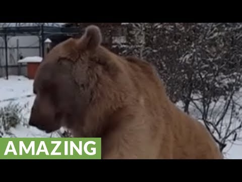 Woman And Bear Casually Enjoy Breakfast Together
