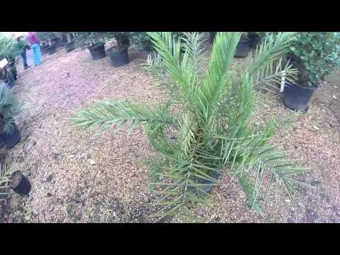 Big Plant Nursery - Phoenix theophrasti (Cretan Date Palm)