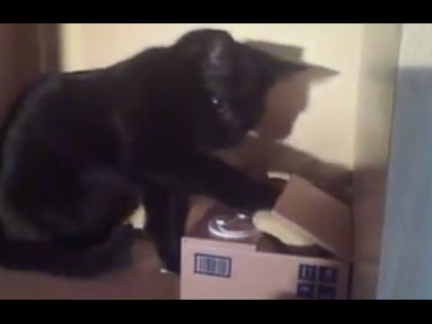 Bombay Cat Playing Curious of the Coin Cat Piggy Bank! Super Cute