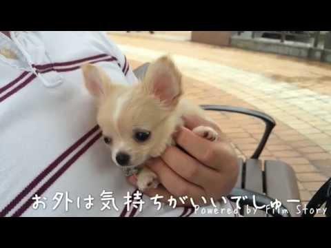 可愛い犬動画★チワワ初めてのお散歩