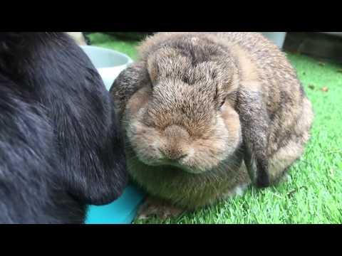 1 Year Old Mini Lop Rabbits