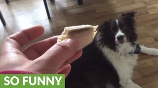 Border Collie has super strange reaction to banana