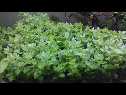 Bacopa caroliniana dan black amazon