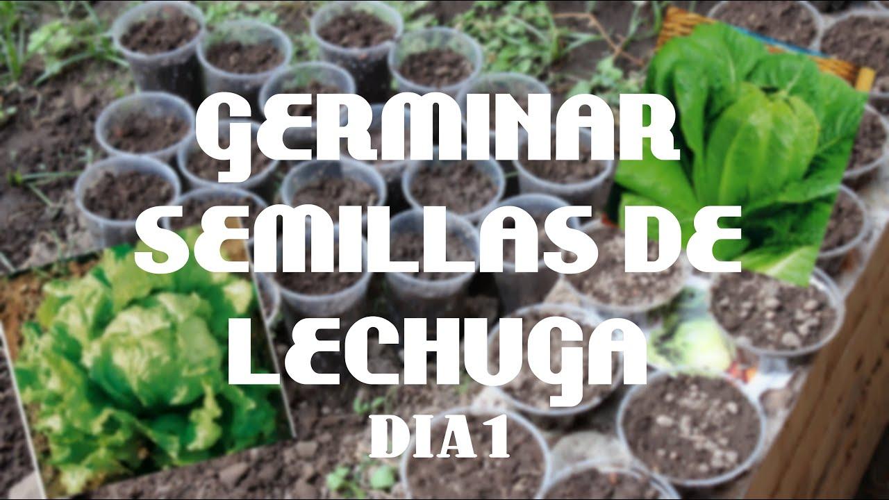 como sembrar semillas de lechuga