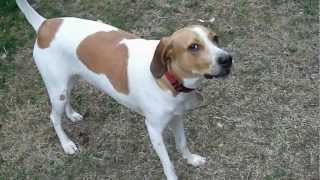 Treeing Walker Coonhound Protests