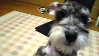 我が家に初めて犬がやってきました。 犬種はミニチュアシュナウザーMini...