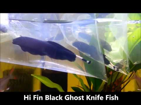 Ghost Knife Fish, Albino And Hi Fin Black Knife Fish, Shrimplovers