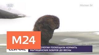 В Минэкологии обещали кормить мытищинских бобров до весны - Москва 24