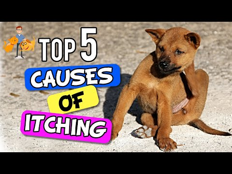 Why Is My Dog SO Itchy - The 5 Big Causes! - Dog Health Vet Advice