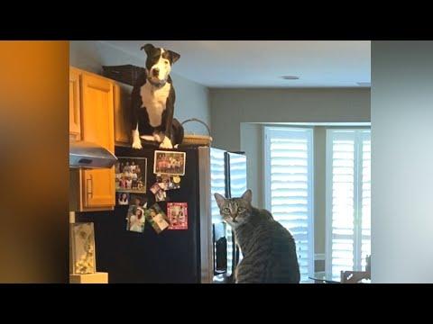 Вопрос: Почему при имитации кошачьего мяуканья эти животные не дают прохода?