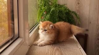British golden cat (Longhair male)
