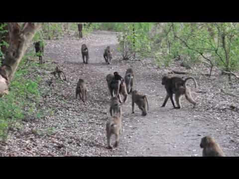 Baboons on parade at Bishangari, SNNPR, Ethiopia