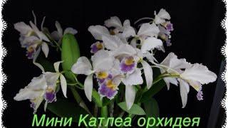 Орхидея мини-КАТАЛЕЯ