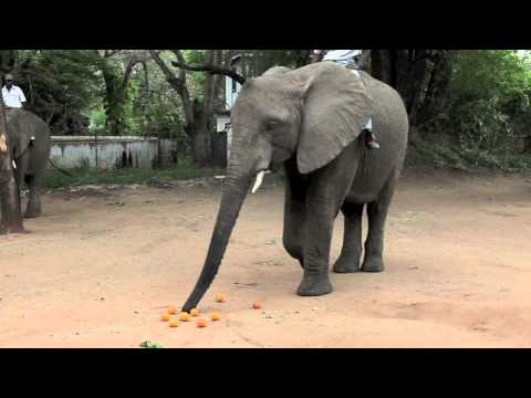 Elephants' reactions to chili peppers as an alternative, natural deterrent