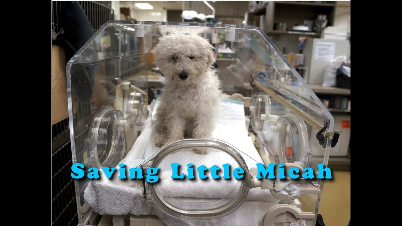 Saving Micah A Shelter Puppy With Severe Pneumonia Please Share