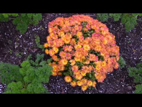 BEAUTIFUL AUTUMN FLOWERS – MUMS – SLIDESHOW