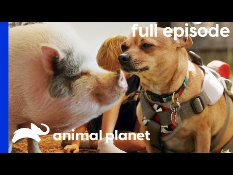 Pot-Bellied Pig Needs To Get In Shape! | My Big Fat Pet Makeover (Full Episode)