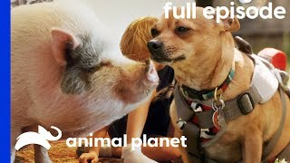 PotBellied Pig Needs To Get In Shape!   My Big Fat Pet Makeover (Full Episode)